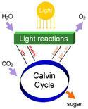 Diagramma semplificato della fotosintesi. Fonte: Wikimedia Commons