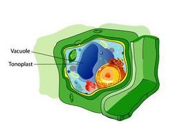 Rappresentazione schematica di una cellula vegetale. Fonte: Wikimedia Commons