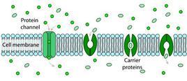 Meccanismi di trasporto passivo attraverso proteine intramembrana (diffusione facilitata). Fonte Wikimedia Commons