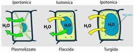 Turgore e plasmolisi nella cellula vegetale. Fonte: Wikimedia Commons