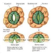 L'apertura e la chiusura degli stomi si basa su variazioni del turgore cellulare. Fonte: Immagine modificata da CBU