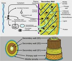 Rappresentazione schematica della parete secondaria. Fonte: Plant Cell Walls