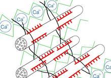 Schema della struttura della parete. Le fibrille di cellulosa sono contornate da emicellulose (in rosso) che sono collegate a molecole di pectina. In verde sono le estensine. Fonte: Wikipedia