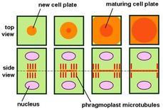 Formazione della piastra cellulare e del fragmoplasto durante la citochinesi. Fonte Wikimedia Commons