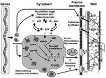 Biogenesi della parete. Fonte: Plant Cell Walls