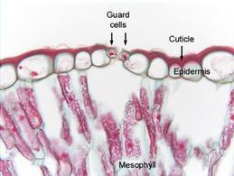 Sezione trasversale dell'epidermide di una foglia. Fonte: Plant Anatomy Laboratory