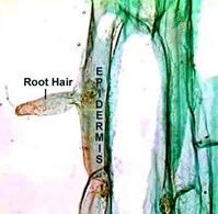 Pelo radicale nella radice di Zea mays. Fonte: OSU