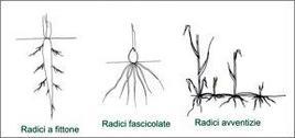 Apparati radicali. Fonte: Immagine modificata da Appunti di Morfologia Botanica