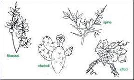 Modificazioni del fusto epigeo. Fonte: immagine modificata da Appunti di morfologia botanica