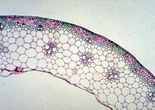 Es. di fusto cavo. Fonte: Tavole di Anatomia dei Vegetali
