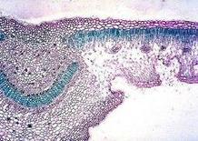 Foglia di Nerium oleander. Fonte: Tavole di Anatomia dei Vegetali