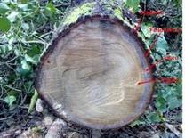 Sezione di un tronco. Fonte: immagine di Stefano Terracciano