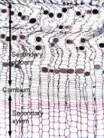 Meristema cambiale. Fonte: Plant Anatomy
