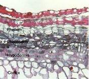 Cambio subero-fellodermico. Fonte: Plant Anatomy Laboratory