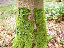 Muschio epifita. Fonte: Wikimedia Commons