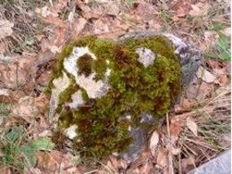 Diverse specie di muschi su roccia. Fonte: immagine di Stefano Terracciano