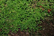 Selaginella denticulata. Fonte: Wikimedia Commons