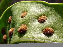 Sori (gruppi di sporangi) sulla pagina inferiore della foglia. Fonte: Wikimedia Commons