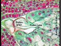 Tubetto pollinico germinato. Fonte: OSU