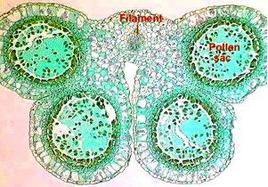Le quattro sacche polliniche di un'antera immatura. Fonte: OSU