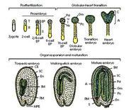 Stadi dell'embriogenesi. Fonte: UMANITOBA