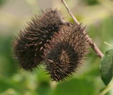 Frutti con appendici che si aggrappano al pelo degli animali. Fonte: Wikimedia Commons