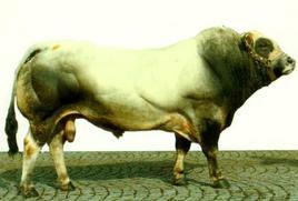 Piemontese bull.