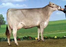 Bruna cow.