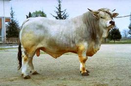 Romagnola bull.
