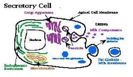 Functioning of secretory cell. From: Sukolrat Boonyayatra, DVM, MS, Clinic for Ruminant, FVM, CMU.