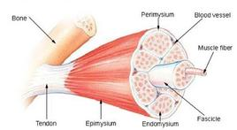 Skeletal muscle structure. From: National Cancer Institute
