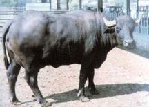 Buffalo cow.