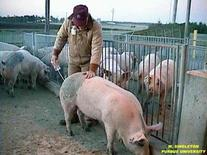 Artificial insemination of the sow.