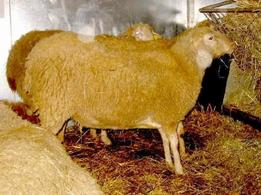 Appenninica sheep.