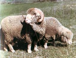 Sopravissana sheep.
