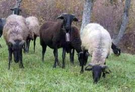 Massese sheep.