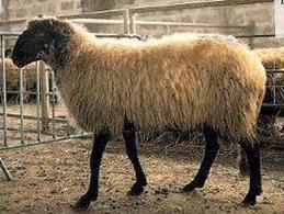 Leccese ewe.