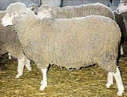 Merinizzata Italiana sheep.