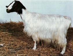Maltese goat.