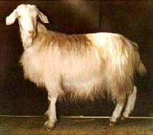 Ionica goat.