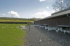 Broilers reared in free range system.
