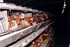 Battery cages used in intensive farming for egg production.