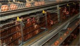 Battery cages that will be banned from January 2012.