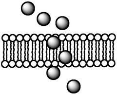 Un farmaco che attraversa una membrana cellulare deve essere sufficientemente lipofilo.