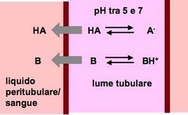 Il pH della preurina influenza la velocità dell'escrezione urinaria degli acidi e delle basi deboli.