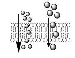 Il farmaco più piccolo (a sinistra) diffonde attraverso le membrane cellulari più velocemente del farmaco più grande (a destra).