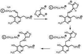 Legame covalente tra cicloserina e piridossal-fosfato, cofattore della L-Ala racemasi.