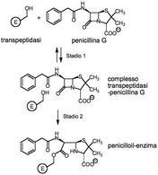 Inibizione di una transpeptidasi batterica da parte della penicillina G.