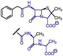 Somiglianza tra penicillina G (sopra) e frammento acil-D-Ala-D-Ala (sotto).
