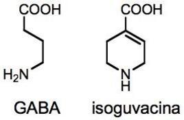 L'isoguvacina come analogo rigido del GABA.
